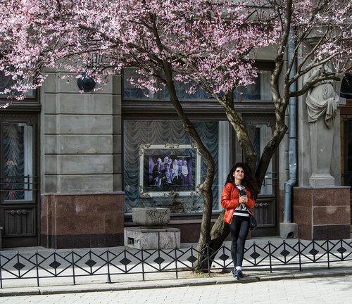Цветущая сакура в Крыму, Симферополь