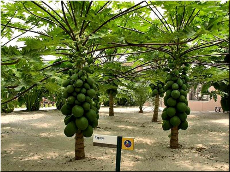 Как растут папайя папайя, плантации, фруктов, лично, плоды, напоминают, канабис, кроны, высоких, деревьях, листь, растут, которых, стилясь, деревьев, Всего, дерево, месяц, выглядят, ствола