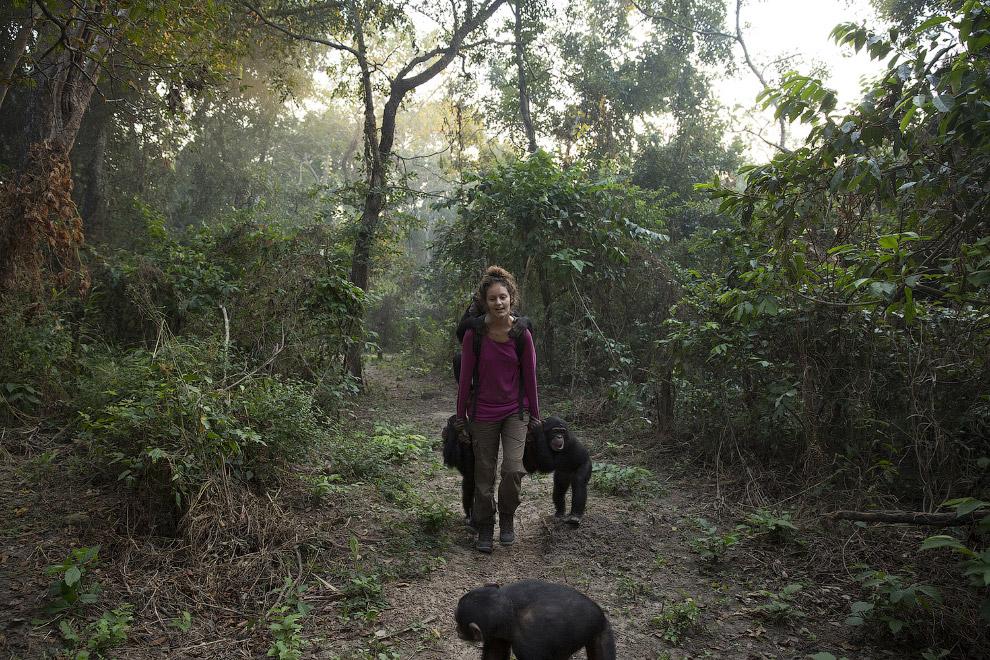 17. Как уже говорилось, период реабилитации кшимпанзе перед выпуском в дикую природу может длит