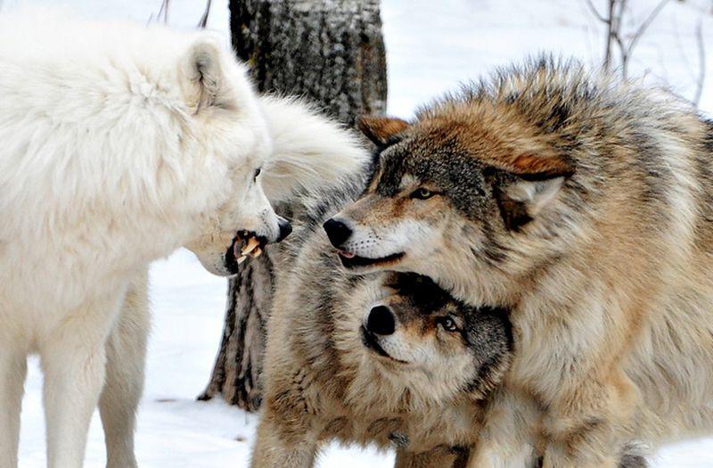 1. Волчье Самка спряталась под самца. Взгляд у нее спокойный, верит в своего. И не только потому, чт