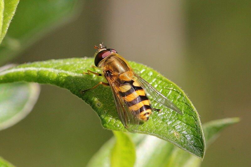Жёлтая полосатая, похожая на осу муха-журчалка (Syrphidae) из рода Дидеа (лат. Didea) подсемейства Syrphinae