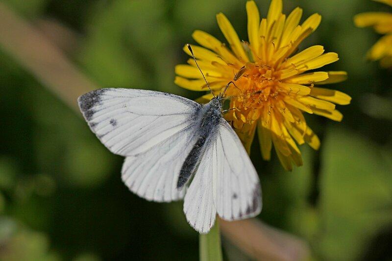Бабочка-брюквенница (Pieris napi) с белыми крыльями с тёмным кончиком крыла и точкой на переднем крыле пьёт нектар из цветка одуванчика
