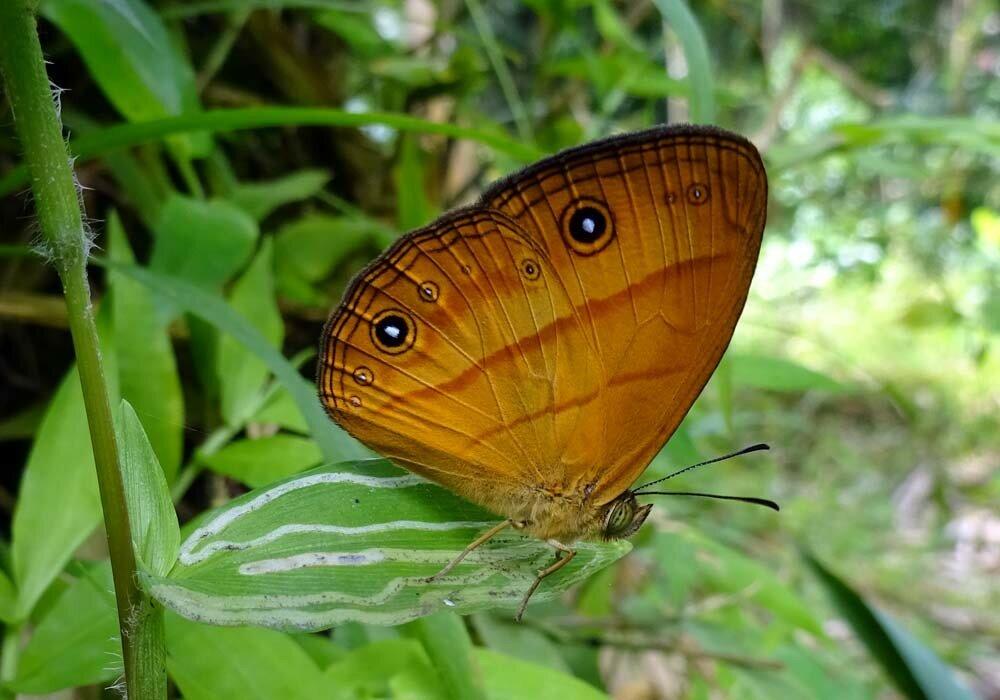 Тропическая бархатница