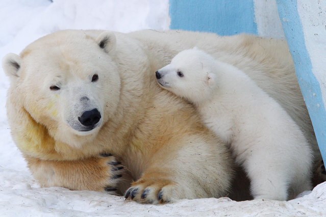 A polar bear named Gerda and a polar bear cub playing in the Novosibirsk Zoo on February 27, 2016. (