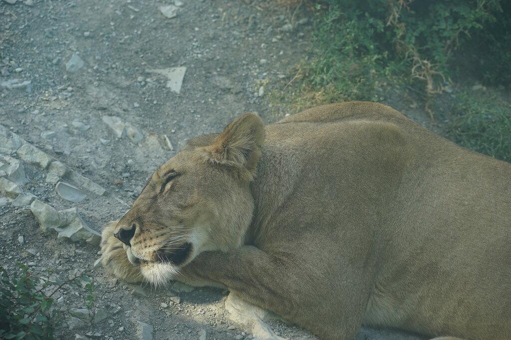 Львица в зоопарке. Сафари-парк, Геленджик.