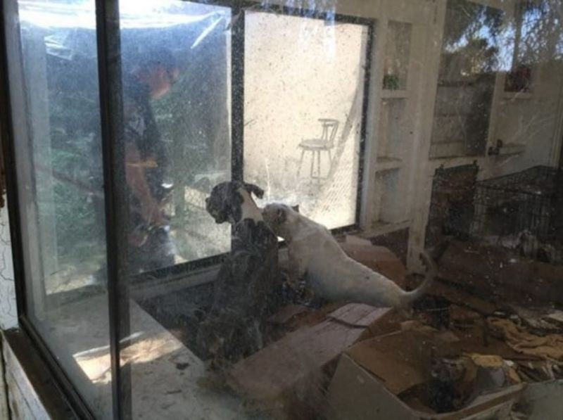 40 питбулей в заброшенном доме