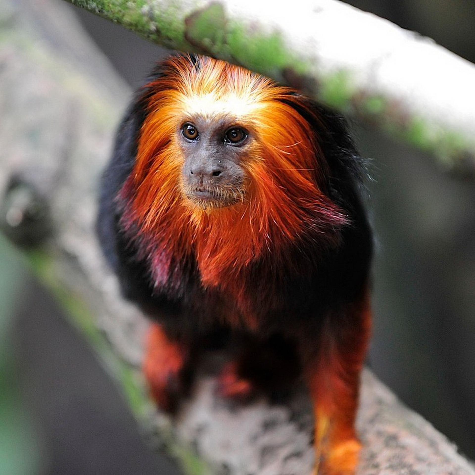 Задумлива мавпочка