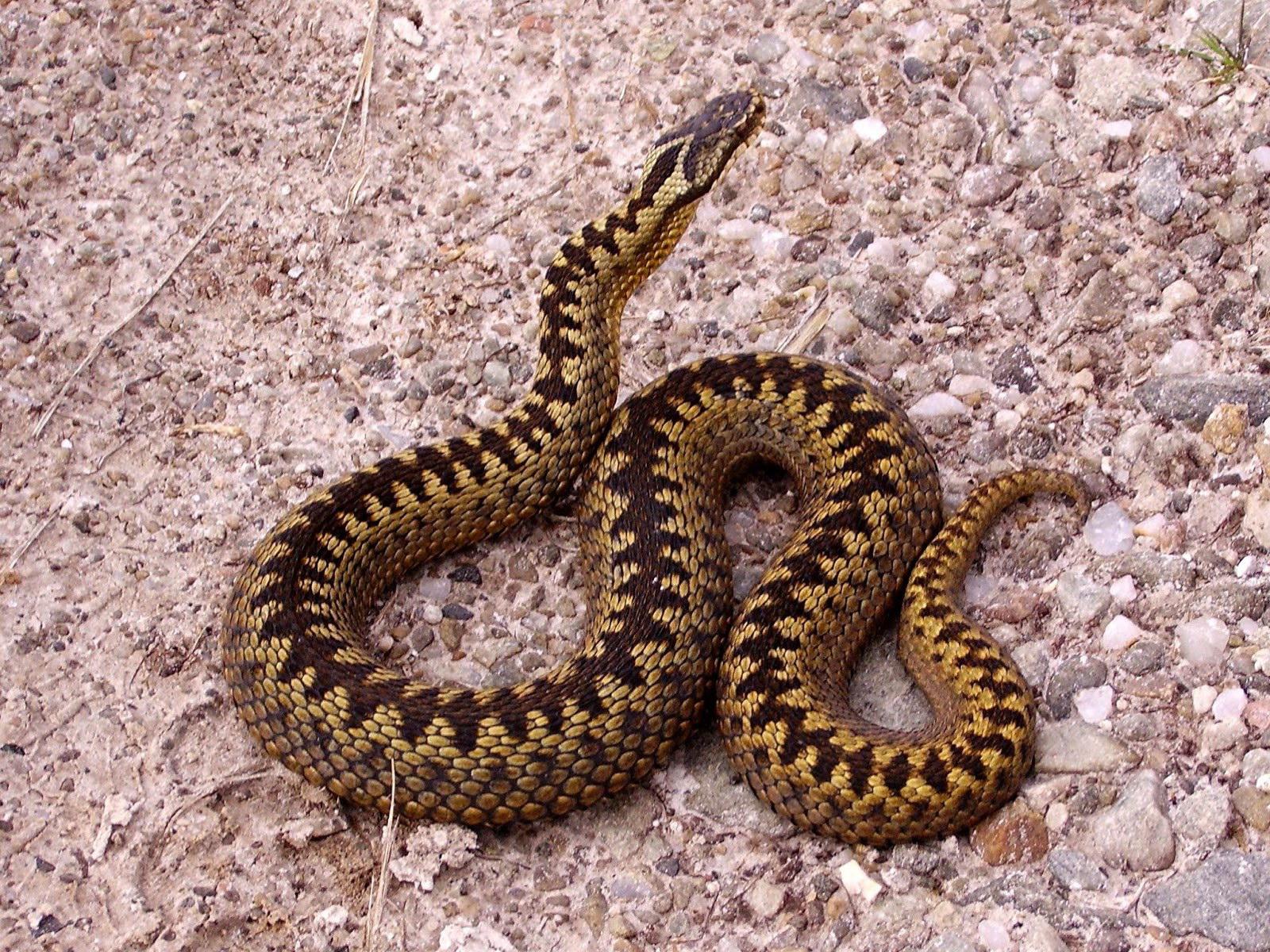 Повзе змія