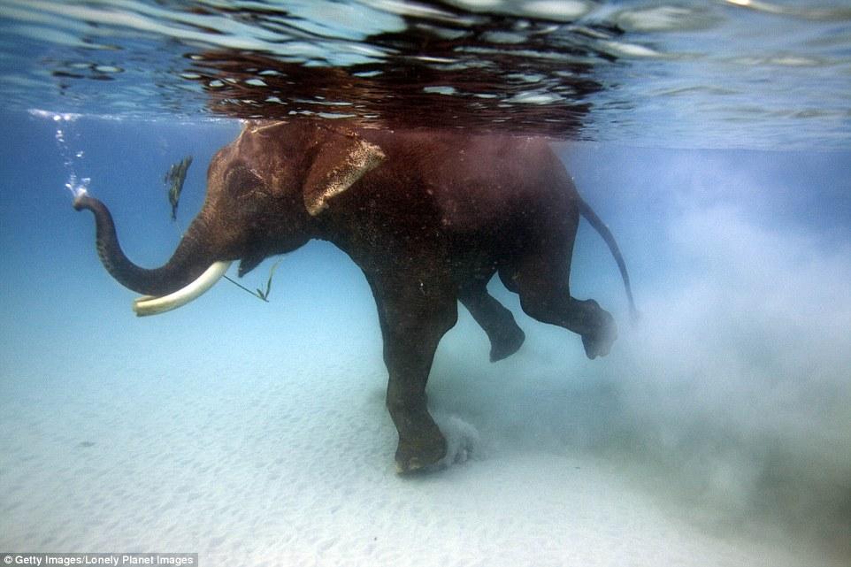 Слон плавает под водой возле острова Хавелок в Бенгальском заливе на территории Индии. Вода настольк
