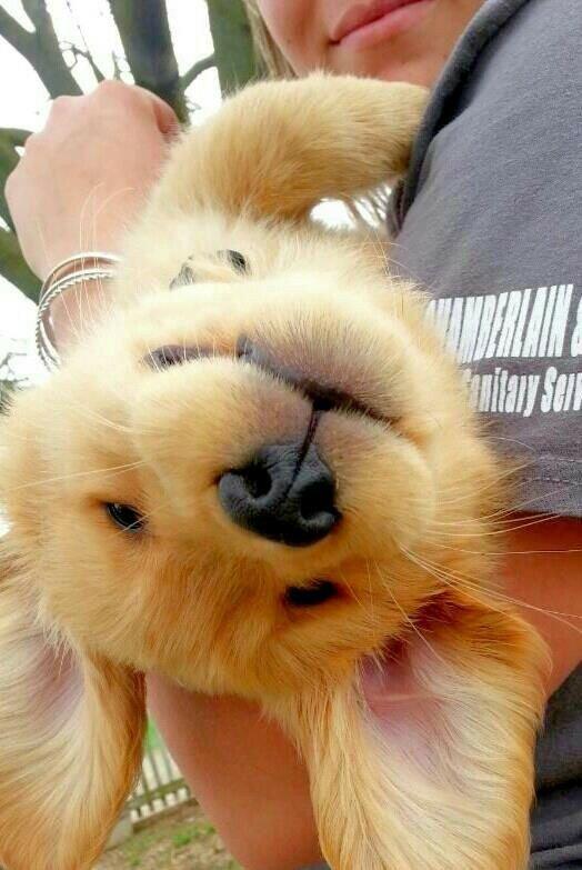 Собака радуется лежа на руках.