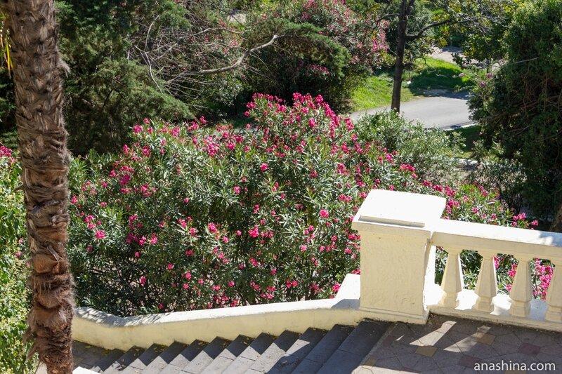 Цветущий олеандр, Приморский парк, Сочи