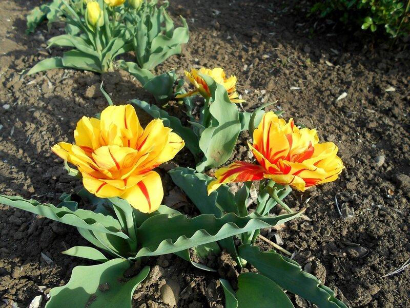 Тюльпаны жёлтой разновидности ... DSCN5028.JPG