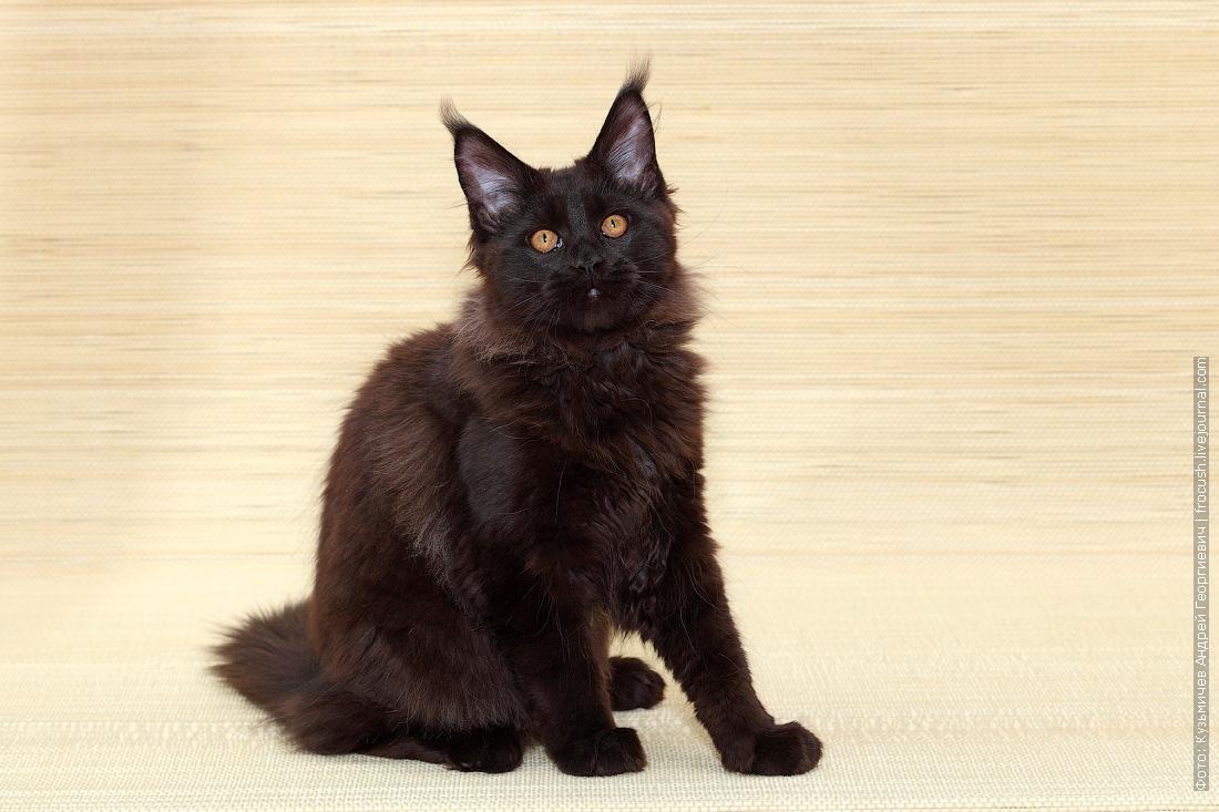 питомник Москва котенок Мейн-кун фото