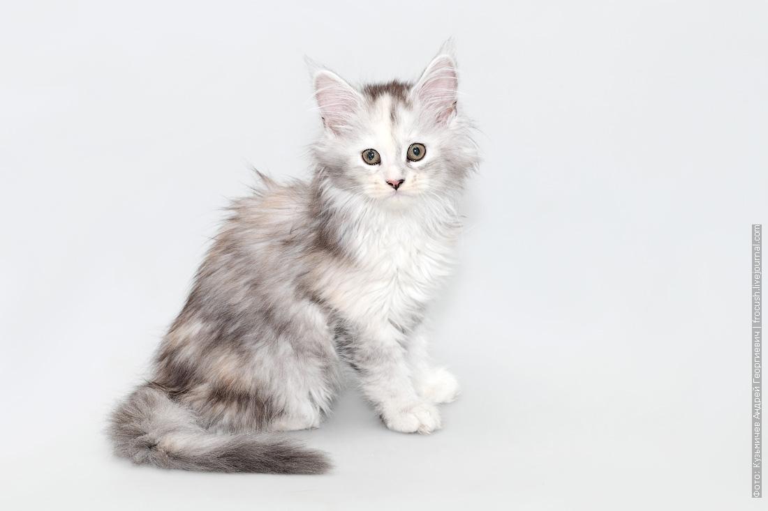 мейн кун котенок фото