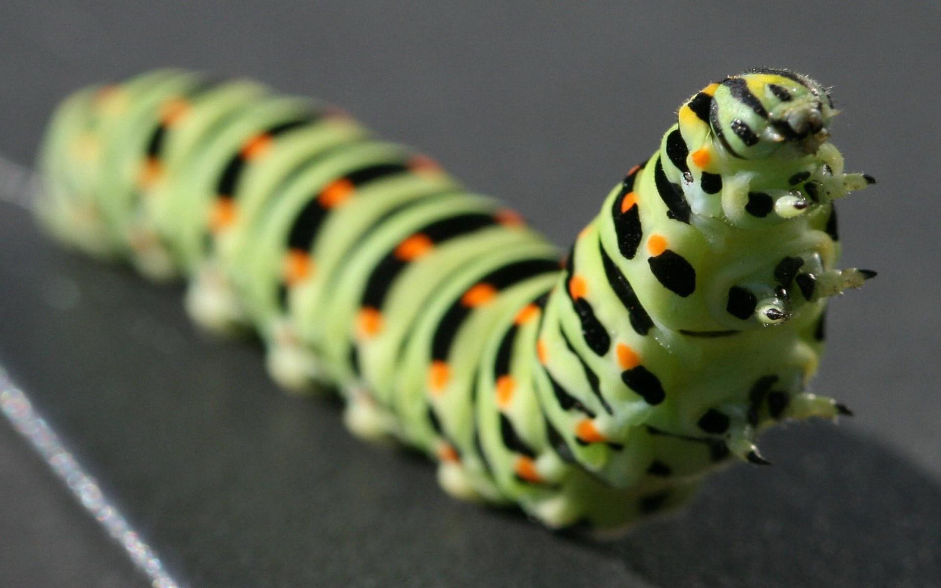Розкішна гусениця