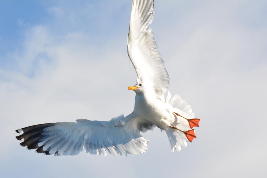 7. Это довольно умные птицы: например, моллюсков, покрытых толстой раковиной, бросают с высоты