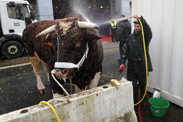 A French farmer sprays his bull with water as preparations continue on the eve of the opening of the