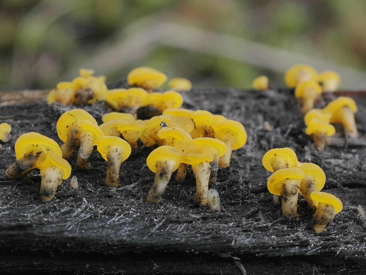 Вибриссея пеньковая (Vibrissea truncorum). Автор фото: Юрий Семенов