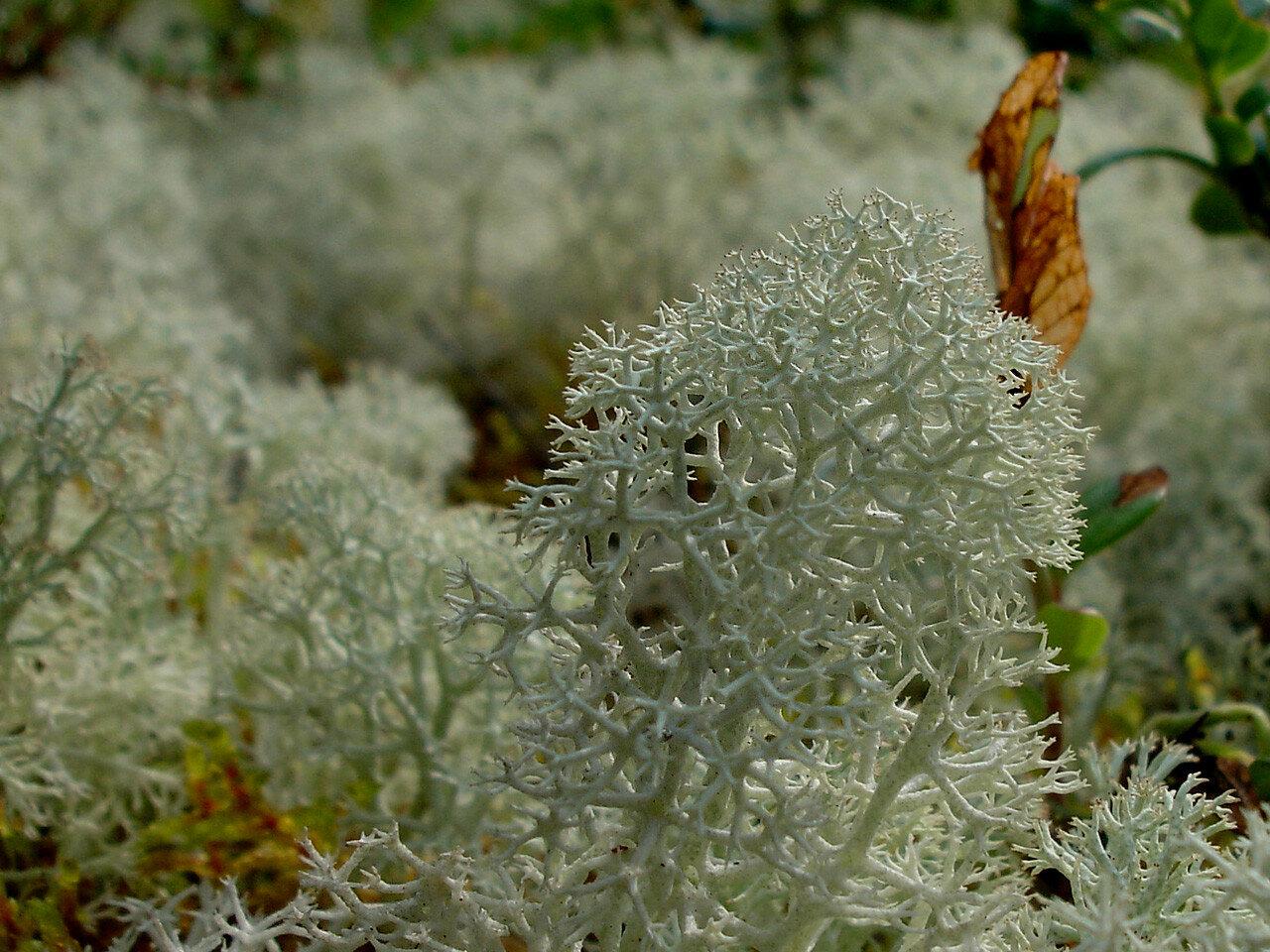 Cladonia sp.. Автор фото: Юрий Семенов