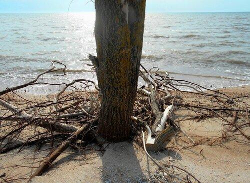 У моря, корни дерева ... DSCN5826.JPG