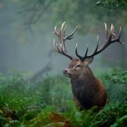 Сохатый в лесу