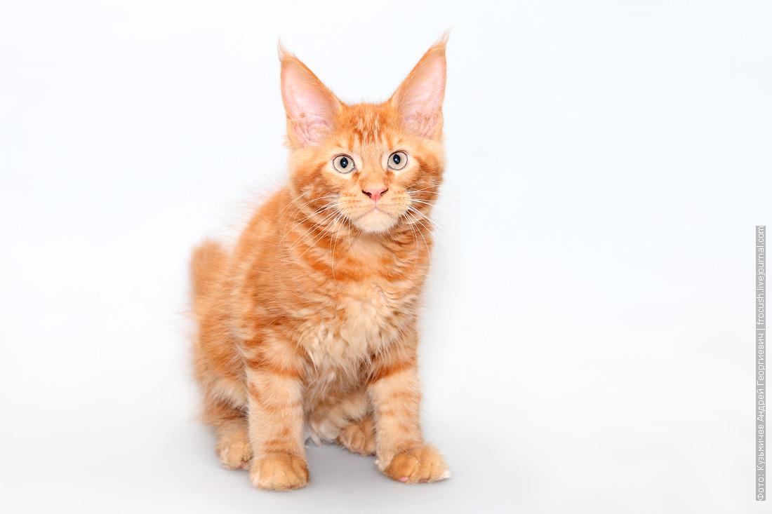 красный котенок мейнкун продажа в москве из питомника