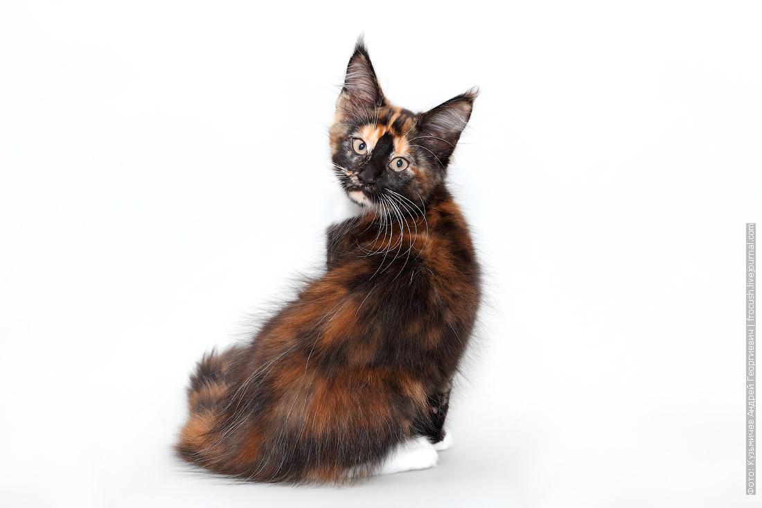 черепашка котенок мейнкун фото