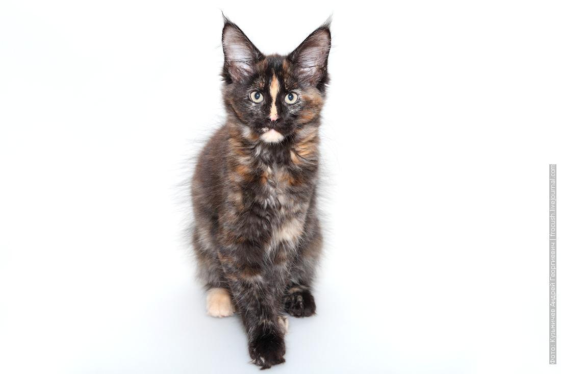 фотография черепаховый окрас котенок мейнкун