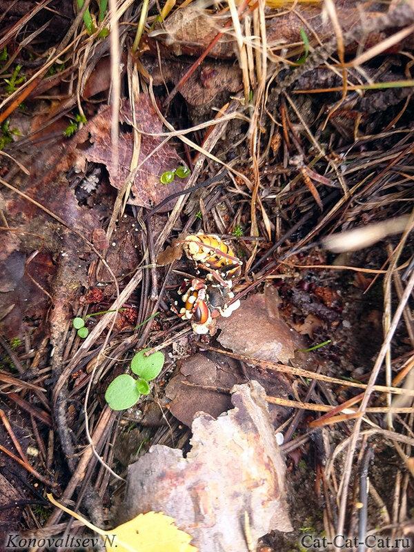 Шершень в грибах