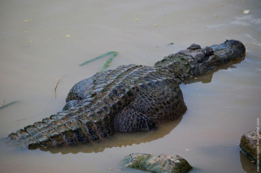Когда аллигаторы вылупляются из яйца их длина составляет около 15-25 см. В год аллигатор может вырас