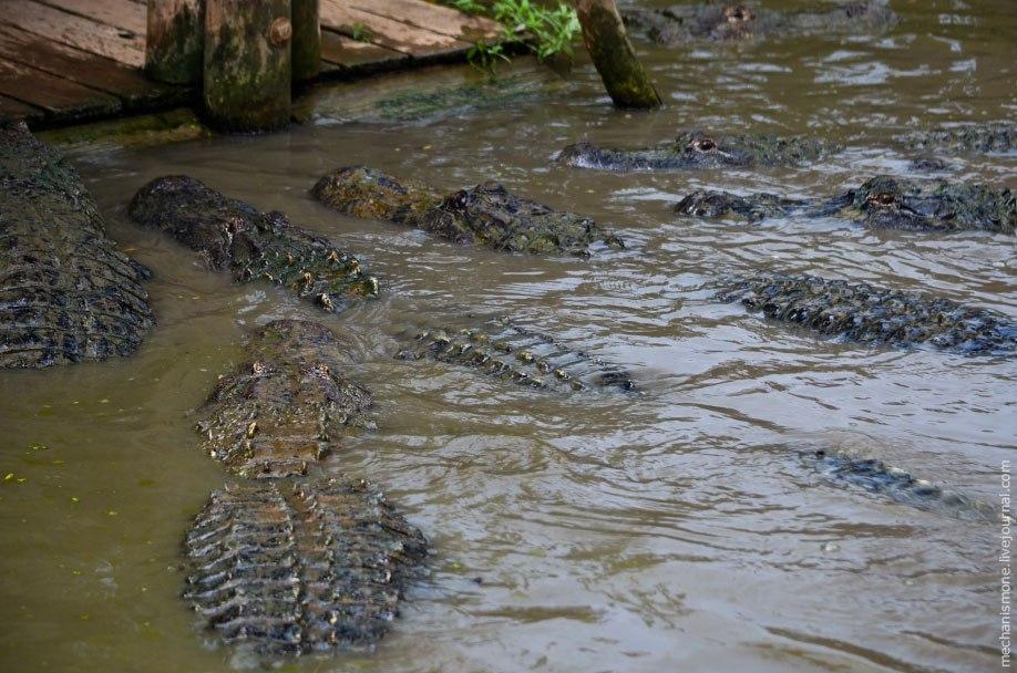 Самый большой пойманный дикий аллигатор имел длину 5.8 метра.