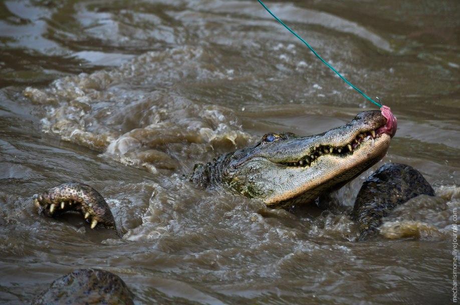 Кормят аллигаторов в основном животными, оленями, которые так же выращиваются на ферме и отлавливать
