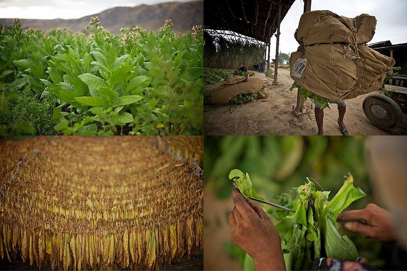 Как выращивают табак (24 фото)