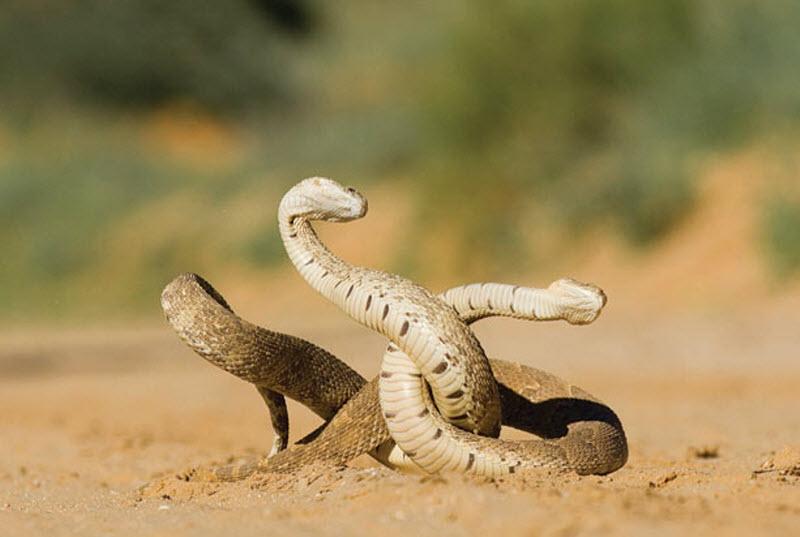 17. Змеи особенно опасны во время ритуала спаривания. (HANNES LOCHNER / BARCROFT MEDIA)
