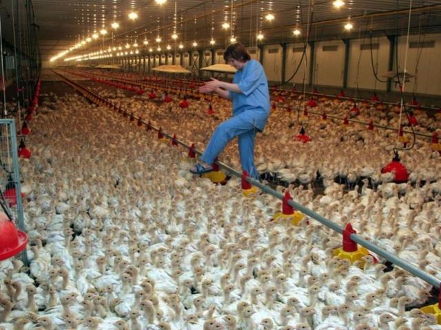 ВРостовской области зафиксирована вспышка птичьего гриппа