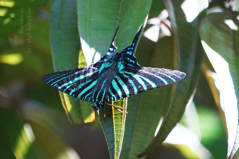 Урания Буадюваля Cuban Sunset Moth (Urania boisduvalii)