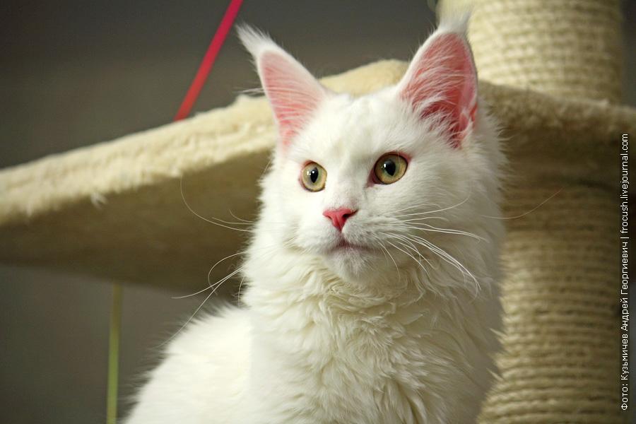 Мейн-кун кошка Альба