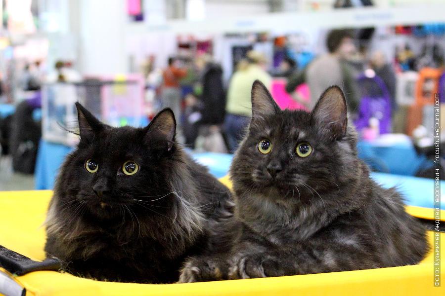 Курильский Бобтейл на выставке кошек «Кэтсбург-2012»