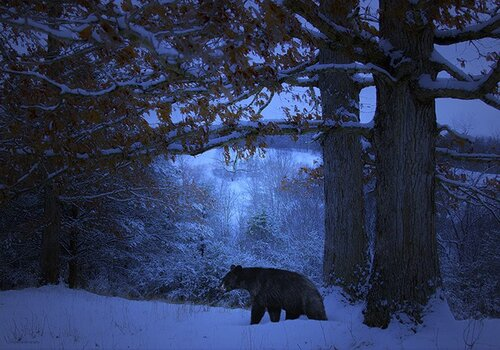 мишка в синем лесу