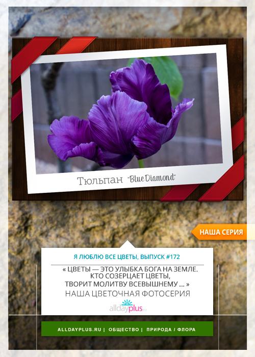Я люблю все цветы, выпуск 172 | Тюльпан «Blue Diamond».