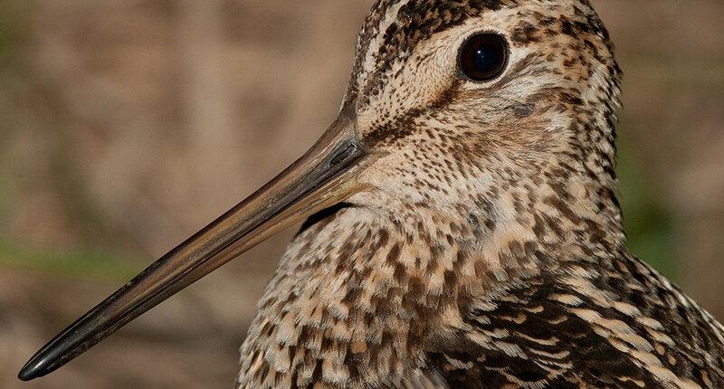 фото дикой птицы с длинным клювом земельные