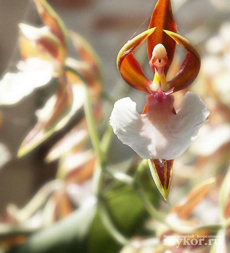 Орхидея, похожая на балерину