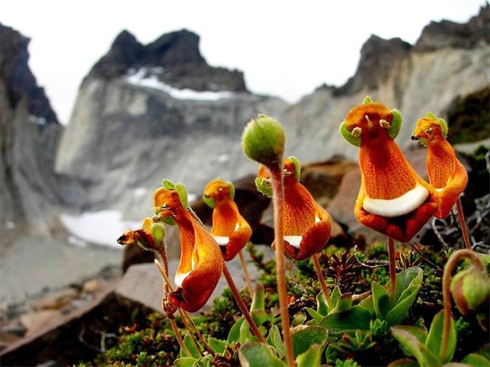 Удивительные орхидеи - Добродушный пришелец (Calceolaria Uniflora)