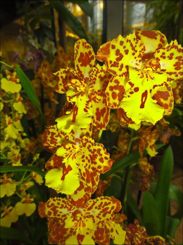 Леопардовая Орхидея..