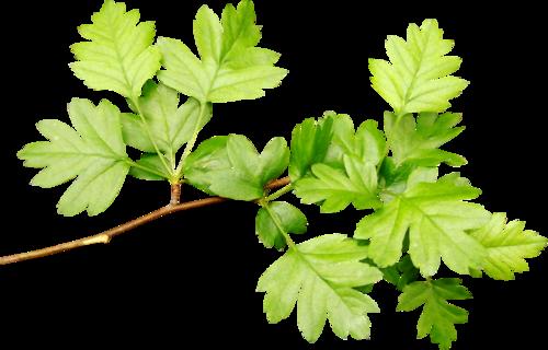 зелень,листья,трава,зеленые листочки,весна,лето