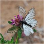 Боярышница - Aporia crataegi (Pieridae)