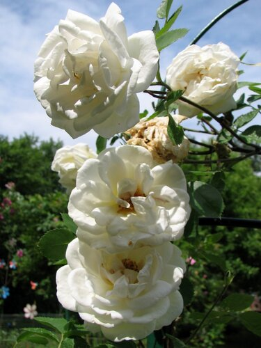 Роза J.P.Konnell 02.JPG