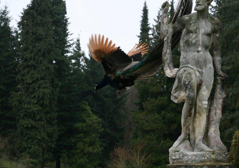 Летящий павлин