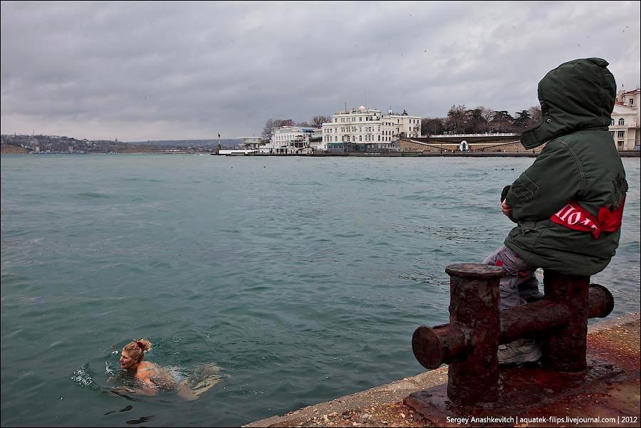 Walruses swimming