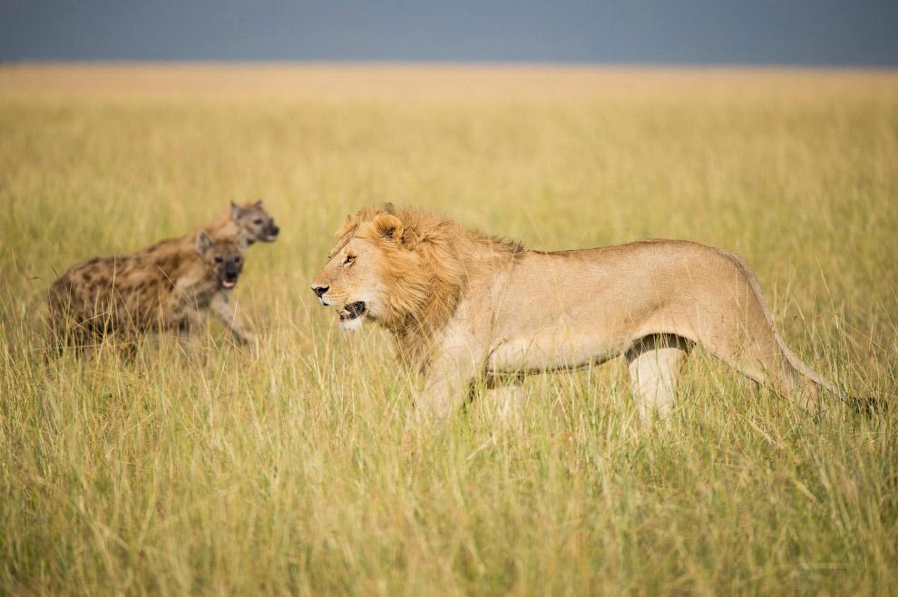 6. Пятнистые гиены живут семейными группами — кланами. В кланах царит строгая иерархия. Самки с даже